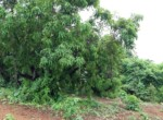 Beautiful 44 Guntha Property in Mandwa with Lot of Mango Trees in Alibaug (9)