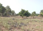 1 Acre Plot with Coconut and Mango plantation near Mand (5)
