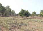1 Acre Plot with Coconut and Mango plantation near Mand (5)