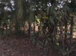 1 Acre Plot with Coconut and Mango plantation near Mand (6)