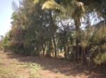 1 Acre Plot with Coconut and Mango plantation near Mand (7)