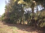 1 Acre Plot with Coconut and Mango plantation near Mand (7)