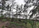 Sea Facing 16 Guntha plot with plantation at Saswane - Alibaug (9)
